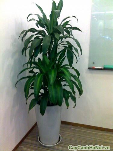 Cây thiết mộc lan trong văn phòng