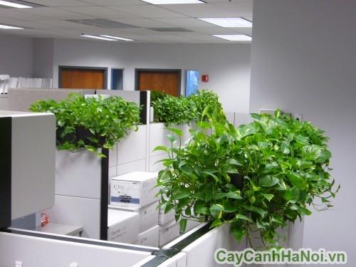Cây vạn niên thanh dạng leo trong văn phòng