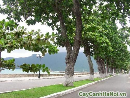 Cây bàng trồng trong cảnh quan