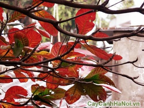 Lá bàng chuyển sang màu đỏ vào mùa đông