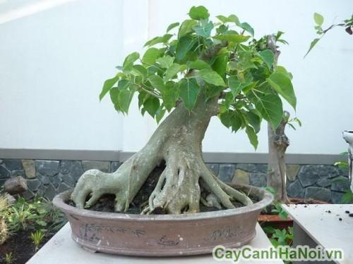 Cây bồ đề là nguồn nguyên liệu bonsai lý tưởng