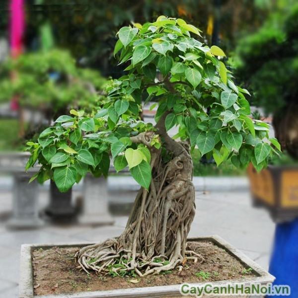 cay-bo-de-bonsai