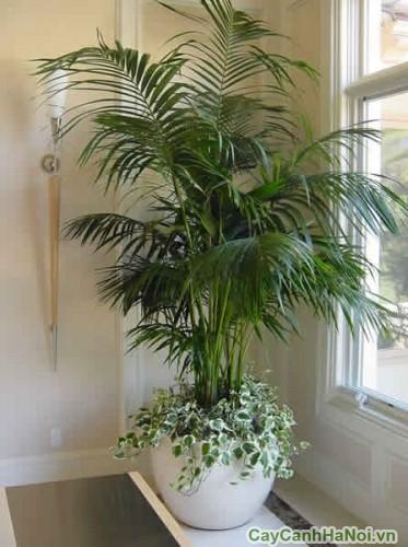 Cây cau Hawai trồng trong văn phòng
