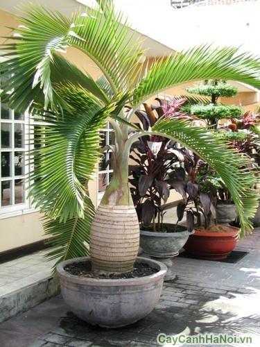 Cây cau sâm panh trồng ngoại thất