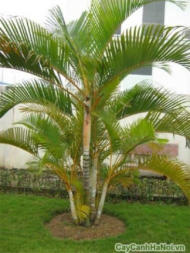 Cây càu vàng trồng ngoại thất