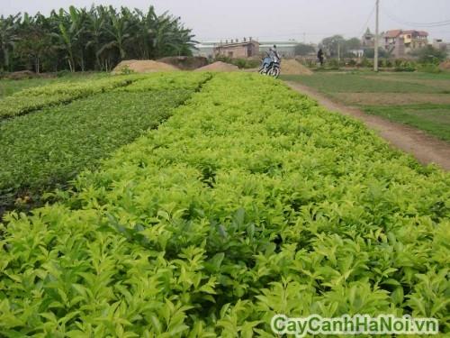Cây chuỗi ngọc được ứng dụng trong trồng viền