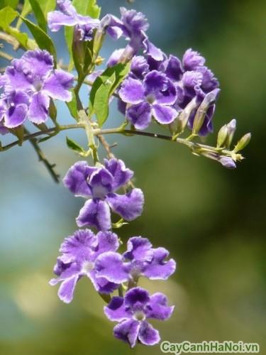 Hoa của cây chuỗi ngọc