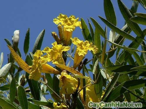 Hoa của cây chuông vàng