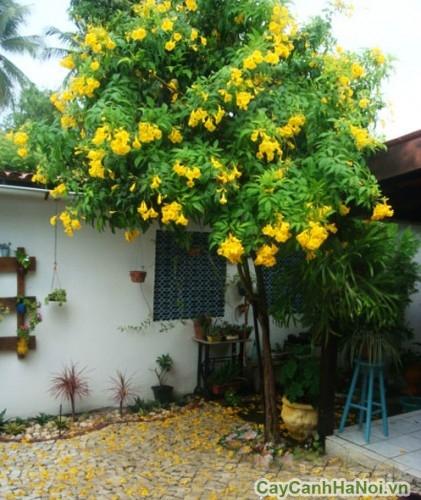 Cây chuông vàng trồng trong sân nhà