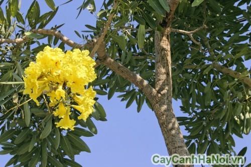 Lá và hoa cây chuông vàng