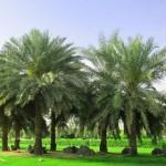 Cây cọ dầu trồng làm cảnh