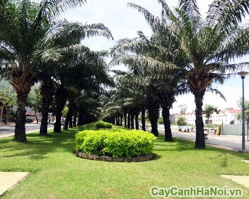 Cây cọ dầu trồng trong đô thị