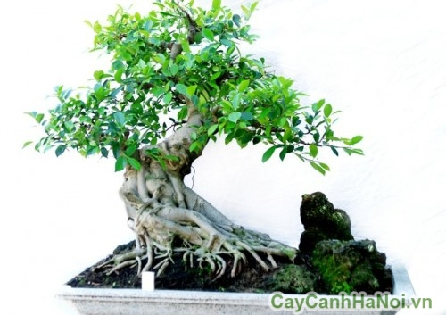 Cây đa bonsai