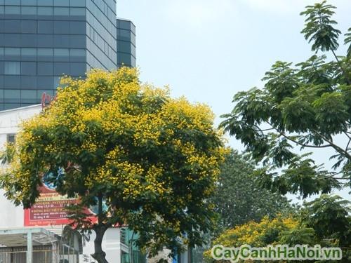 Cây điệp vàng loại cây cảnh đô thị được ưa trồng