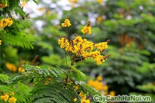 Hoa của cây điệp vàng
