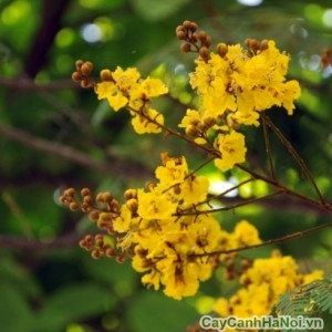 Cây điệp vàng có hoa vàng rực rỡ