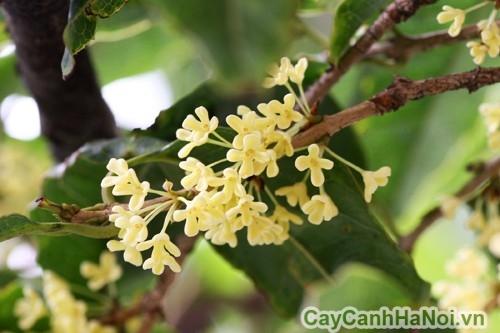 Hoa mộc có thể dùng để ướp trà