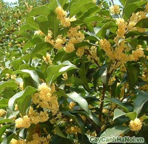 Cây hoa mộc có hoa rất thơm