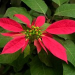 Lá và lá bắc của cây hoa trạng nguyên
