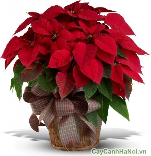 cây hoa trạng nguyên có thể là món quà tặng lý tưởng