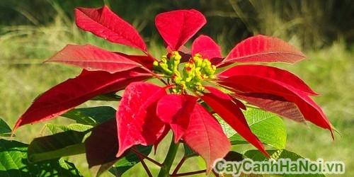 Hoa của cây trạng nguyên