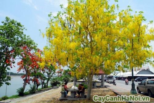 Cây hoàng hậu còn gọi là cây Osaka