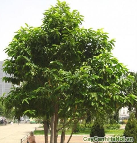 Cây hoàng lan có thể trồng lấy bóng mát