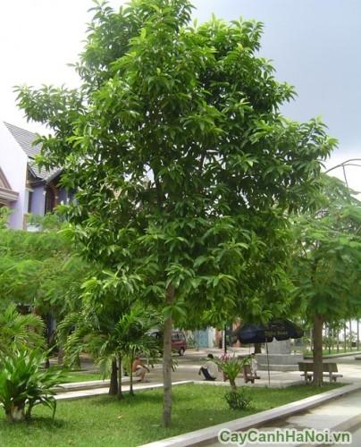 Cây hoàng lan còn gọi là cây ngọc lan tây