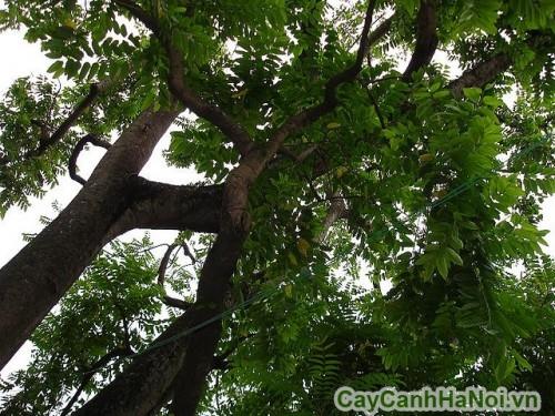 Cây hoàng lan là cây thân gỗ