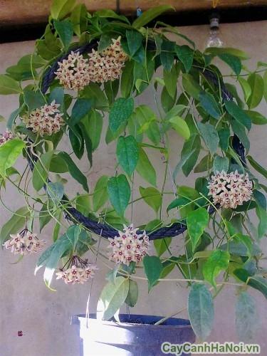 Cây lan cẩm cù dạng giỏ treo
