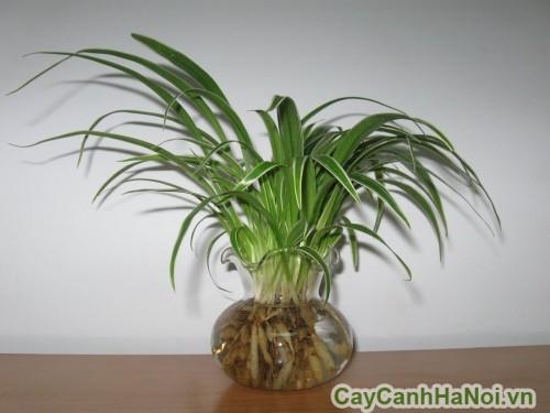 Rễ cây lan chi phình to