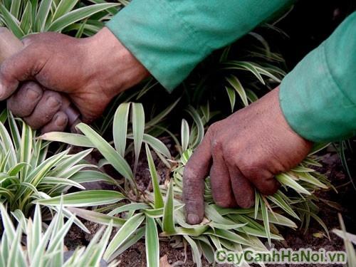 Cây lan chi có thể ứng dụng trồng viền