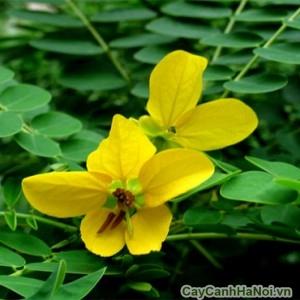 Cây muồng có hoa màu vàng