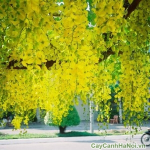 Hoa của cây muồng hoàng yến