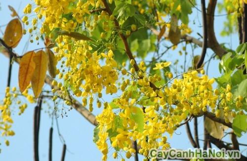 Hoa cây muồng hoàng yến