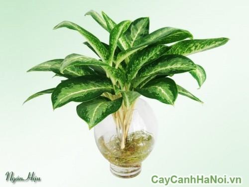 Cây ngân hậu có thể trồng trong nước