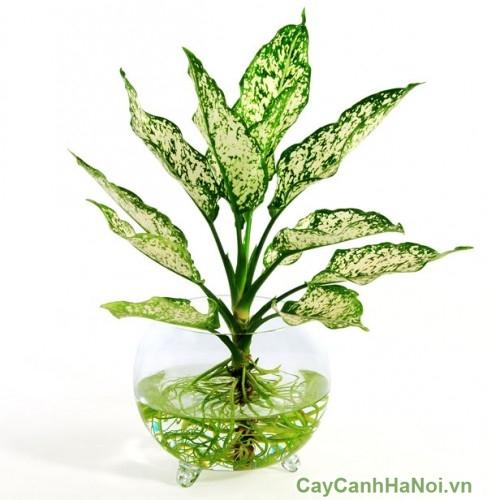 Cây ngọc ngân còn có tên là cây Valentine