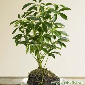 Cây ngũ gia bì là loại cây cảnh quý