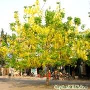 Cây Osaka trồng ven đường