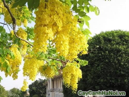 Cây Osaka cho hoa nhiều