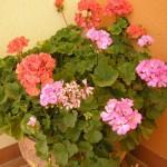 Cây phong lữ có lá và hoa rất đẹp
