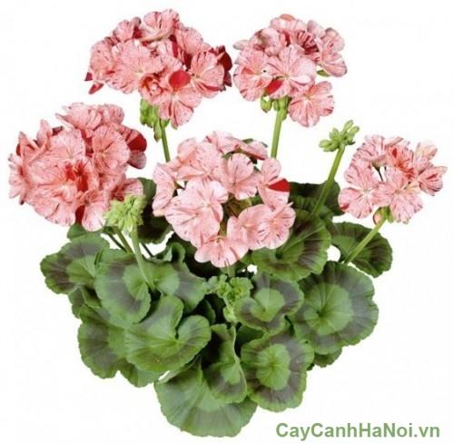 Hoa của cây phong lữ