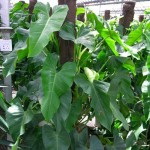 Lá cây saphia