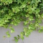 Cây thường xuân là loại cây dây leo xanh quanh năm