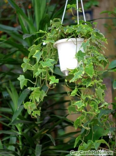 Cây thường xuân trồng trong chậu treo