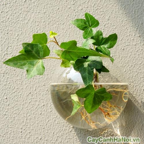 Cây thường xuân có thể trồng thủy sinh