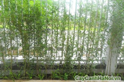 Cây trúc quân tử trồng thành hàng rào