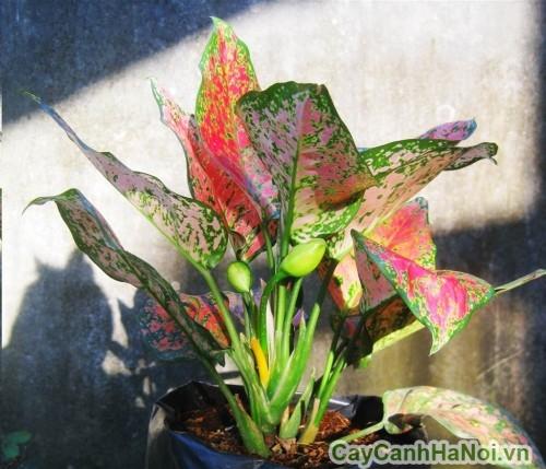 Cây vạn lộc ra hoa