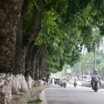 Hàng cây xà cừ trên đường phố Hà Nội