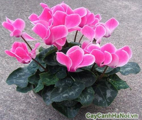 Hoa anh thảo còn gọi là hoa báo xuân